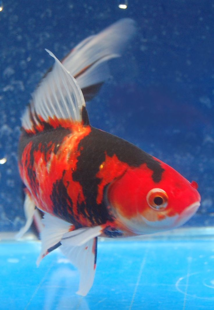 571 best goldfish for the pond images on pinterest fish for Goldfish pond