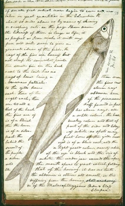 """This is a drawing from the collection of stunningly beautiful field notes by Meriwether Lewis """" Time to sharpen those colored pencils!"""""""