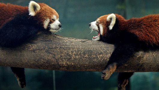Red Pandas. Despite their name and taste for bamboo, these rusty, cat-sized creatures are more closely related to raccoons than giant pandas.