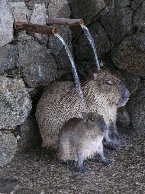 Kotaro Yokoyama photography  |   Bathing Capybaras, 2010     |  Nagasaki  Biopark