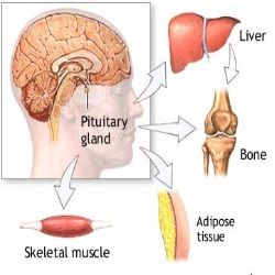 Pituitary Gland Hormones And Deficiency Symptoms