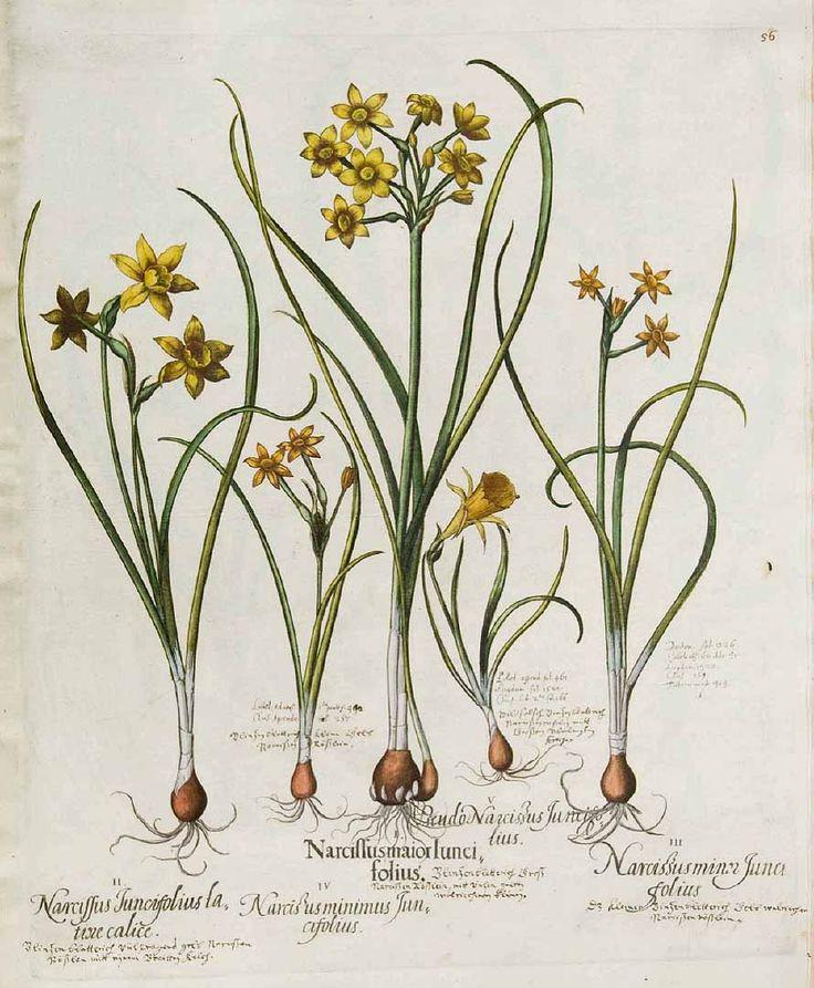 黄水仙(キズイセン、ジョンキル) ヒガンバナ科 Narcissus jonquilla L.  (narcissus, jonquil) Bessler, Basilius, Hortus Eystettensis, vol. 1 (1640)