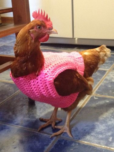 10+Chickens+Wearing+Sweaters,+Because+It's+Wednesday++-+CountryLiving.com