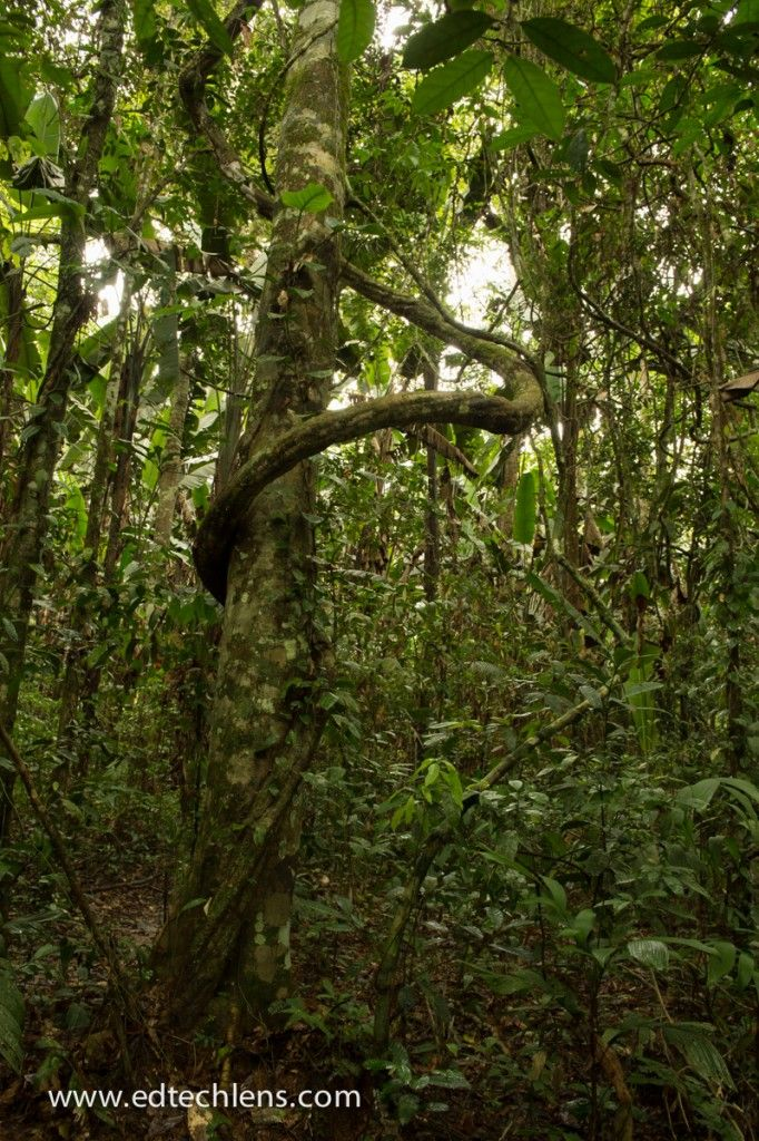 This blog post describes liana vines, what they are, where