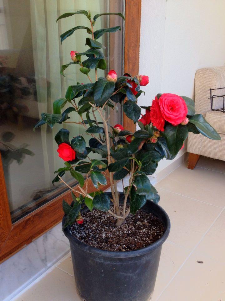 Kamelya / Camellia