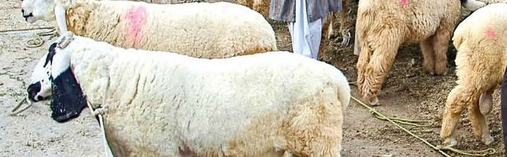 dumba, bakra, Camel for Qurbani sacrifies
