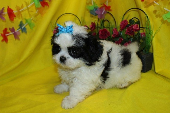 Available Puppies Puppies Shih Tzu Puppy Puppy Kisses