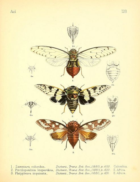 Cicadas by BioDivLibrary on Flickr. Aid to the identification of insects London :E.W. Janson,1880-90..biodiversitylibrary.org/page/7673341