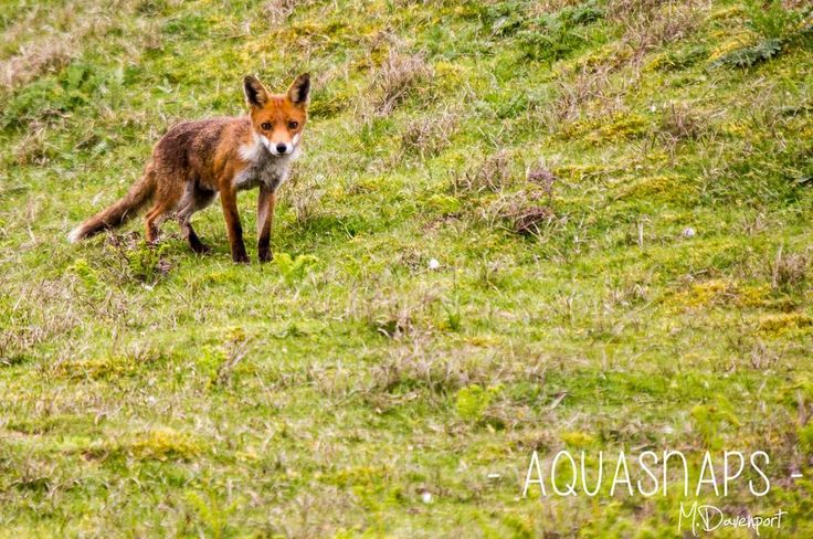 Maiden in Cornwall - Getting Foxy - A fox hunts for rabbits in Crantock