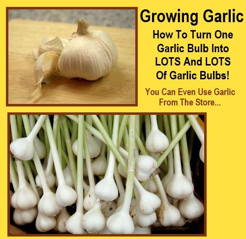 How To Turn One Garlic Bulb Into Lots Of Garlic Bulbs