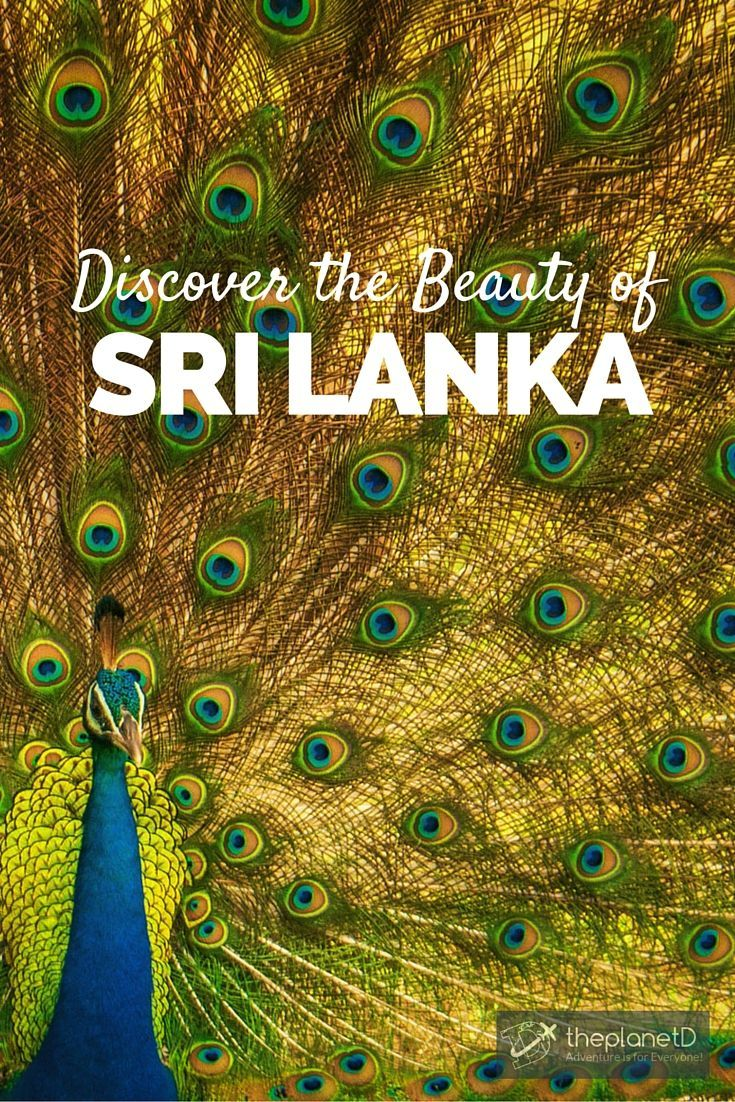 A peacock shows off in Yala National Park >> Discover the beauty of Sri Lanka with these Photos | The Planet D Adventure Travel Blog | We have a soft spot for Sri Lanka, it is often at the top of our list of places we recommend to visit. We hope that after viewing these photos, you will feel the same way.: