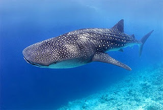 Whale Shark  at Holbox, Quintana Roo