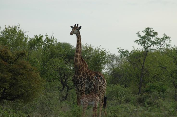 Kapama Private Reserve - Kruger National Park (near Hoedspruit)
