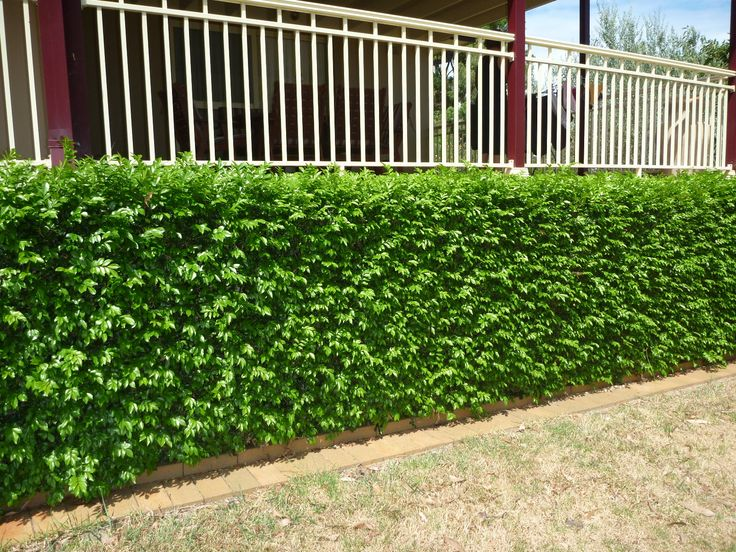 Murraya hedge -existing pruned and maintained