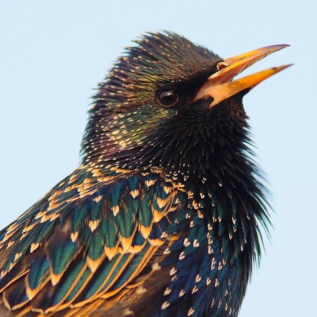 Spreeuw, Starling,(Sturnus vulgaris) - BEAUTIFUL coloring