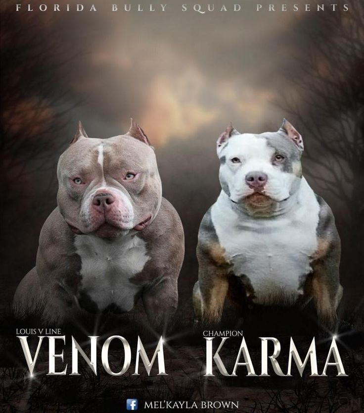 american bully puppies for sale ontario