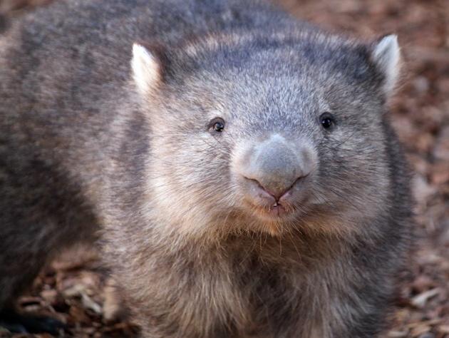 relationship between diprotodon and wombat poops