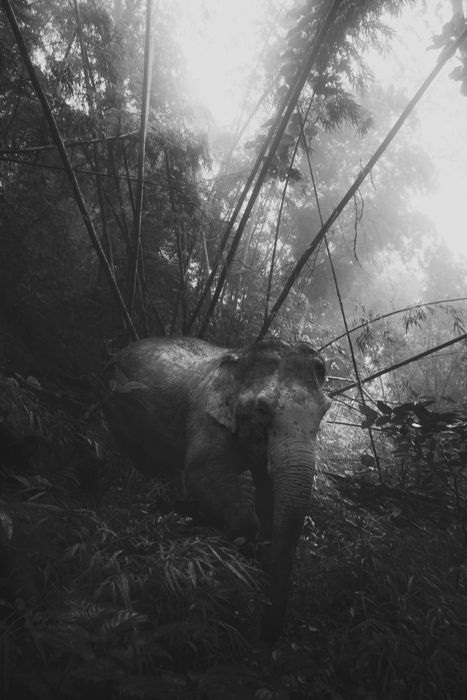 .: Forests, Photography Things, Jungles Elephants, David Terraza, Photography Bliss, Bw Photography, Elepha Maximus, Africans Animal, Camouflage