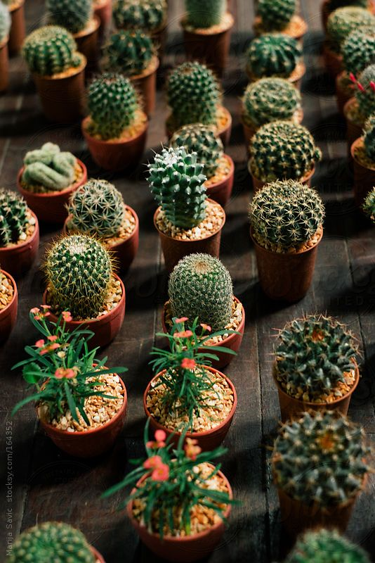 The 25 best cactus plants for sale ideas on pinterest Cactus pots for sale