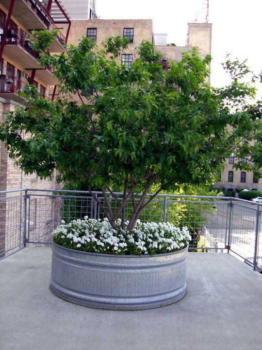 galvanized steel planter (originally a water trough)