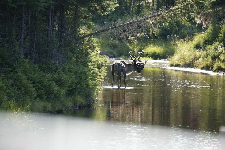 Canada Zoo de saint felicien 3  #Quebec #Canada  #Indian #Tipi #Wild #Nature #Beautiful #Experience #Travel #Luxe #Family