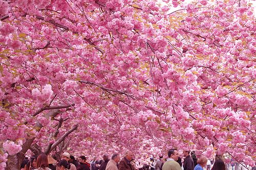 3. CHERRY BLOSSOM: In Japanese they are called sakura