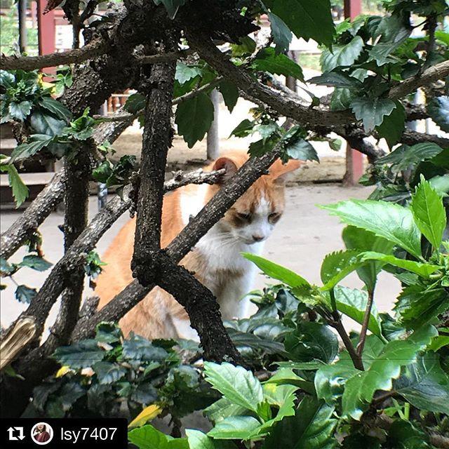 Repost @lsy7407 (@get_repost) ・・・ #ネコダスケステーション . ↑このハッシュタグをつけて 【本物の猫】の写真を投稿すると 1投稿につき 2円  #保護猫 活動に役立てられるそうです。  対象写真に応じた金額が #ネスレ日本株式会社 から支払われるそうです。👏 . 写真は、 眠そうな猫ちゃんを #クアロアランチ で撮影しました . クアロアランチ では、乗馬の体験ができるのですが馬はもちろん、 #野良 #にわとり がいて 野良 かわからないけど 猫もたくさんいて 自然に囲まれた素敵なところでした。 . 画像2枚目にネコちゃんとニワトリが同じ空間にいる写真 . #アニマルライツ #元保護猫  #ネスレ日本 #家族 #ハワイ #ハワイ旅行 #アメリカ旅行 #野良猫 #ノラ猫 #ねこのきもち #ネコカフェ #ネコ #猫 #肉球 #お昼寝 #ネムネムモード #草むら #ねこ部 #ねこ好き #ネコ雑貨 #愛猫 #愛猫家 #猫の恩返し #猫ネイル