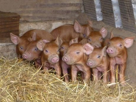 Creșterea porcilor în gospodărie: Un argeșean cu 11 copii recomandă rasa Duroc pentru familiile numeroase