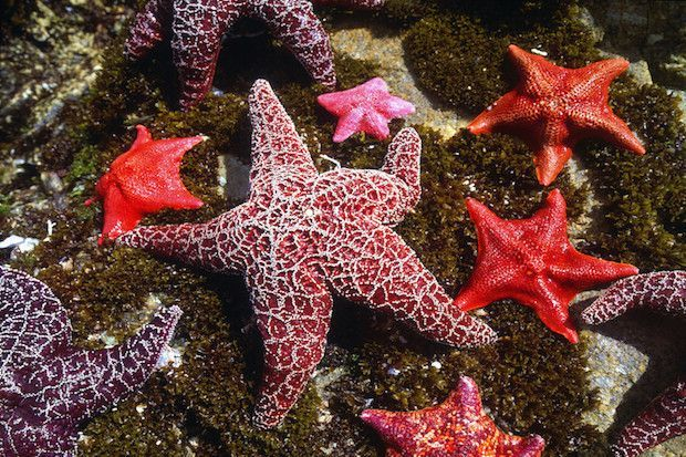 """Purple ochre sea stars—a starfish known as a """"keystone species"""" because of its ability to manage populations of mussels and maintain healthy marine ecosystems. -- TakePart -- 5-12-16 -- photo, Robert Glusic, Getty Images -- Baby Sea Stars Bounce Back"""