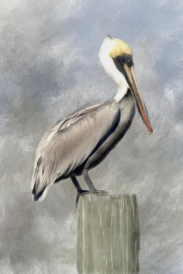 pelican drawings | Pelican Painting
