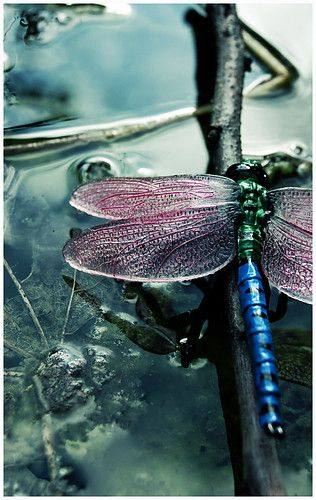 dragonfly on water