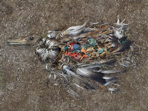 "Chris Jordan's Photographs of Bird Carcasses With Stomachs Full Of Plastic - ""On Midway Atoll, a remote cluster of islands more than 2000 miles from the nearest continent, the detritus of our mass consumption surfaces in an astonishing place: inside the stomachs of thousands of dead baby albatrosses. The nesting chicks are fed lethal quantities of plastic by their parents, who mistake the floating trash for food as they forage over the vast polluted Pacific Ocean."""