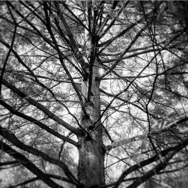 Bald Cypress #lexingtonky #baldcypress #kentucky #gardening #trees  #landscaping #landscapedesign