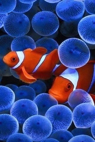 37 best blue and orange images on pinterest blue orange for Blue clown fish