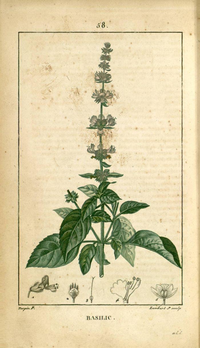 les 99 meilleures images du tableau planches botanique sur pinterest dessins botaniques. Black Bedroom Furniture Sets. Home Design Ideas