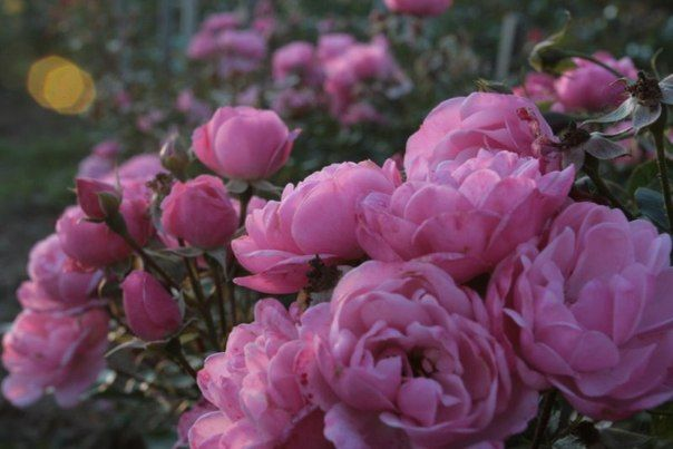 10 самых обильно цветущих сортов роз. 'Morena 2002' (Harkness,2002; F, h=0.5-0.6), мелкие розовые цветки 'Morena 2002'. так многочисленны, что вызывают восхищение.