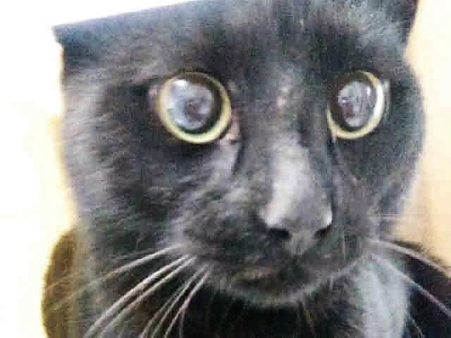 BELLEROSE - A1093718 - - Brooklyn  ***TO BE DESTROYED 10/20/16***BELLEROSE is a 3 year old black sweet but scared male cat. He was brought into the shelter in a trap as a stray and this poor guy doesn't know what he's doing there in a cage. No wonder he's scared! BELLEROSE is not in the mood to be pet at the moment. Because he's fearful at the shelter, he's only available through New Hope Rescue. He's desperately in need of a foster, who can allow him time to ca