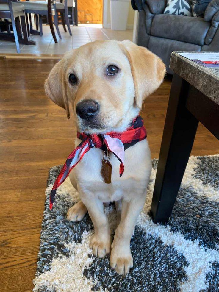 Bretton the yellow labrador retriever dogperday cute