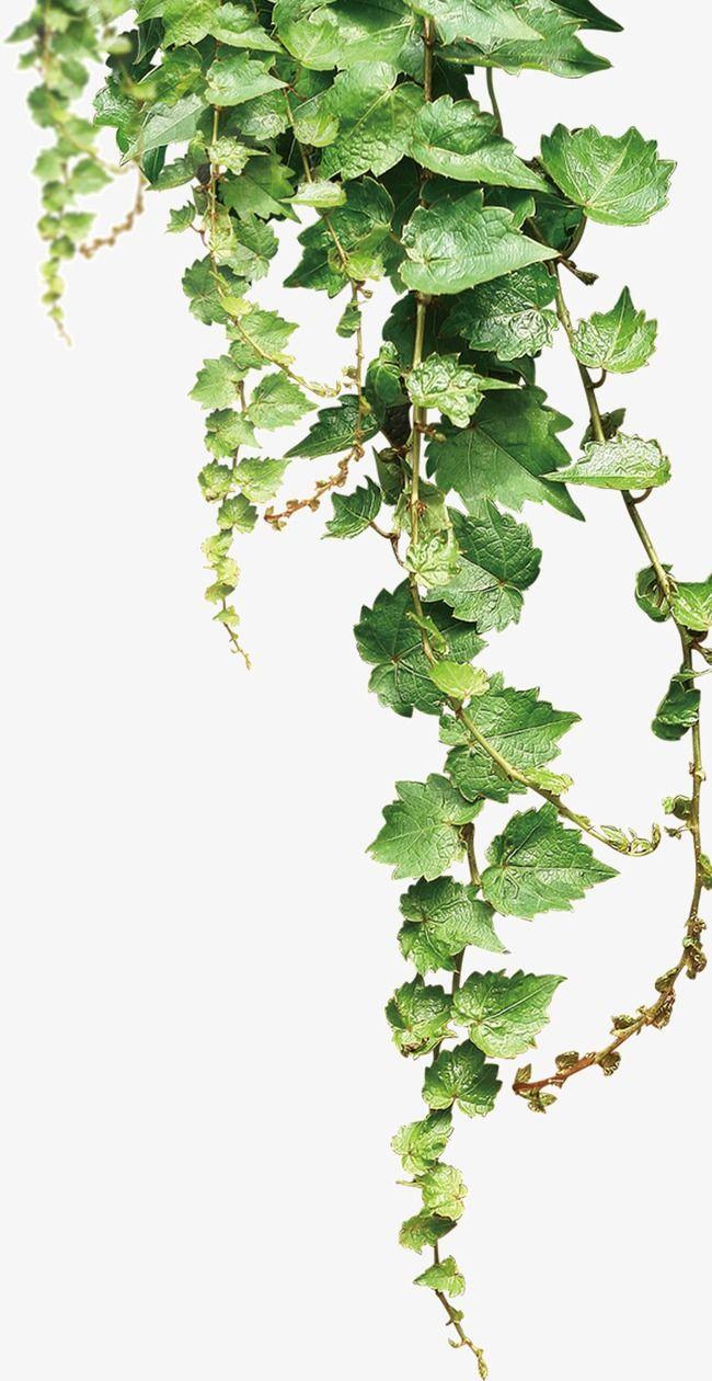 Vines Shelf Plant Texture Vines Texture Watercolor Leaves