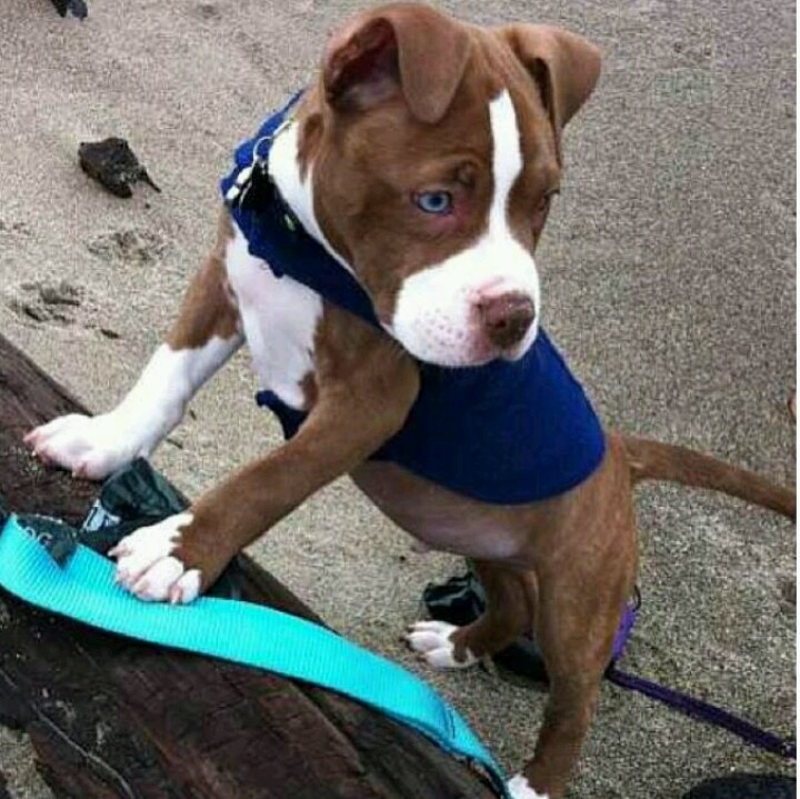 17 best ideas about pitbull red nose on pinterest red