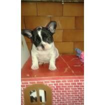 Hermoso Cachorro Bulldog Frances 13500