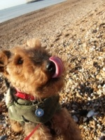 The adopted welsh terrier from the United Kingdom, Noodles was the most popular MD the week of October 17/11.: Dogs I D, Potenti Dogs, Airedale Dogs, Aired Minis, Welsh Terriers, Www Noodlesabout Blogspot Com, Adoption Welsh, Cute Pup, Minis Me