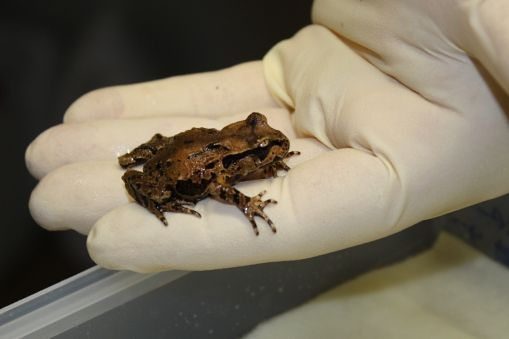 STUDENT ACTIVITY - Ethics in conservation science -  In this activity, students consider the conservation of native frogs from a number of different perspectives.