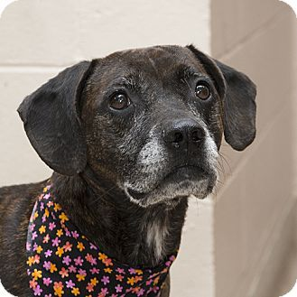 Pictures of Millie a Hound (Unknown Type) Mix for adoption in Troy, OH who needs a loving home.