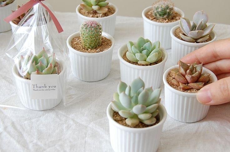 Cocotte cacti / Echeveria | 多肉植物とサボテン販売 solxsol