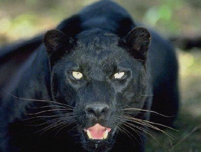 Black Panther's Wisdom includes:  -astral travel  -guardian energy  -symbol of the feminine  -understanding of death  -reclaiming one's power  -ability to know the dark  -death and rebirth