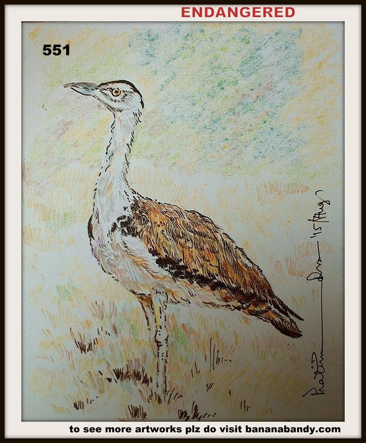 PAKHI DEKHUN PAKHI CHINUN # 527/551(Observe the Bird and recognize)..GREAT INDIAN BUSTARD ... COL. PENCIL & GEL PEN... 6*7 INCH...2015... [FROM PHOTOGRPAH OF MR. DILIPSINH CHUDASAMA] ... The Great Indian Bustard (Ardeotis nigriceps) or Indian bustard is a bustard found in India and the adjoining regions of Pakistan. A large bird with a horizontal body and long bare legs giving it an ostrich like appearance, this bird is among the heaviest of the flying birds. Once common on the dry plains of…