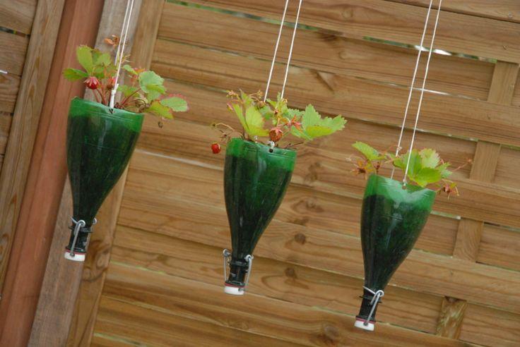 recycling pots of strawberries on: http://ogrodymarkiewicz.blogspot.com/2012/04/truskawki-pnace.html#links