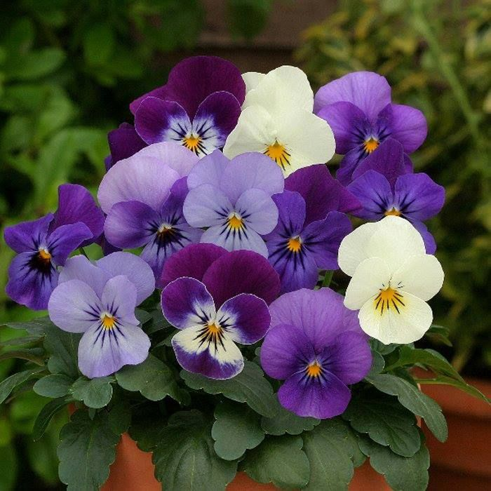 Potted Pansies.                                                                                                                                                                                 More