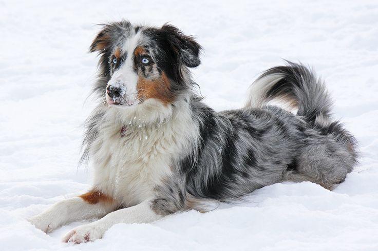 austrailian shepherds | australian shepherd